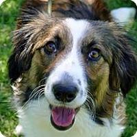 Adopt A Pet :: Georgia the Border Collie Girl - Ocala, FL