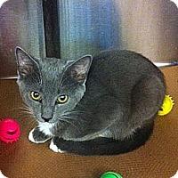 Adopt A Pet :: Shallot - Secaucus, NJ