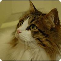 Adopt A Pet :: Chrissy - Lunenburg, MA