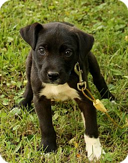 Border Collie/Boxer Mix Puppy for adoption in Spring Valley, New York - Dugan