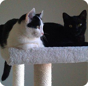 Domestic Shorthair Cat for adoption in HILLSBORO, Oregon - Abby & Amy:  THE 'A' GIRLS