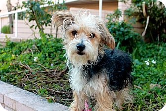Yorkie, Yorkshire Terrier/Maltese Mix Dog for adoption in Los Angeles, California - Grizwald