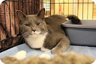 Domestic Shorthair Cat for adoption in Rochester, Minnesota - Stanley