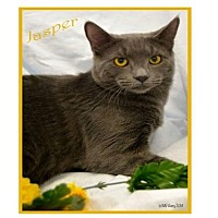 Domestic Shorthair Cat for adoption in Oviedo, Florida - Jasper