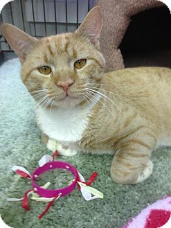 Domestic Shorthair Cat for adoption in Atco, New Jersey - Wallace