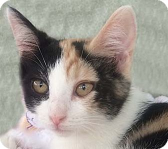 Domestic Shorthair Kitten for adoption in Tiburon, California - Callie