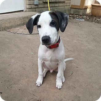 Pointer Mix Dog for adoption in Von Ormy, Texas - Whiskey