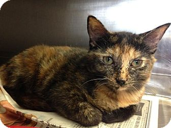 Domestic Shorthair Kitten for adoption in East Brunswick, New Jersey - Tasha