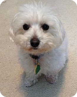 Maltese Mix Dog for adoption in Grand Rapids, Michigan - Chance