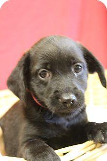 Labrador Retriever Mix Puppy for adoption in Waldorf, Maryland - Piper