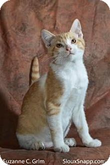 Domestic Shorthair Cat for adoption in New Orleans, Louisiana - Chief