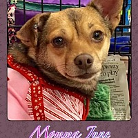 Chihuahua Mix Dog for adoption in Bogalusa, Louisiana - Momma June