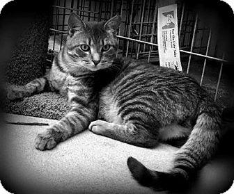 Domestic Mediumhair Cat for adoption in Flint HIll, Virginia - Willow