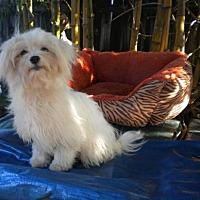 Adopt A Pet :: Meeya - Fort Lauderdale, FL
