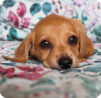 Dachshund Mix Puppy for adoption in santa monica, California - Kielbasa