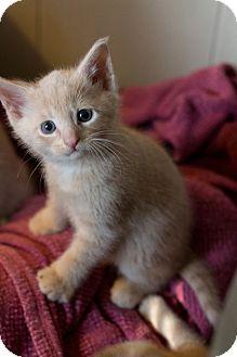 American Shorthair Kitten for adoption in Morgantown, West Virginia - Buzz Lightyear