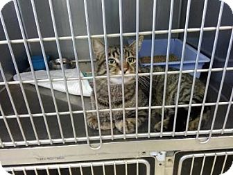 Domestic Shorthair Cat for adoption in Sauk Rapids, Minnesota - Simon