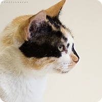 Calico Cat for adoption in Houston, Texas - WYNNE