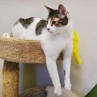 Domestic Shorthair Cat for adoption in Yukon, Oklahoma - Sonic
