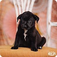 Adopt A Pet :: Julia Child - Portland, OR