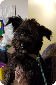 Terrier (Unknown Type, Small) Mix Puppy for adoption in Mount Pleasant, South Carolina - Mandy