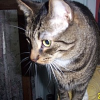 Adopt A Pet :: Bootsie - Courtesy - Rochester, NY