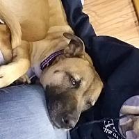 German Shepherd Dog/American Pit Bull Terrier Mix Dog for adoption in Spokane Valley, Washington - Dixie