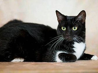 Domestic Shorthair Cat for adoption in Orlando, Florida - Tyson