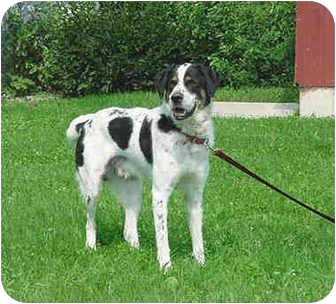 St. Bernard/Bernese Mountain Dog Mix Dog for adoption in Austin, Minnesota - Orlando