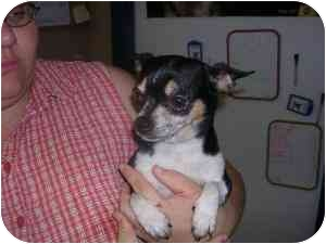 Chihuahua Dog for adoption in House Springs, Missouri - Erica