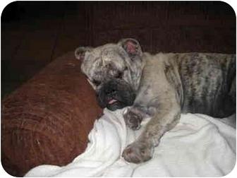 English Bulldog Mix Dog for adoption in Gilbert, Arizona - Vanity