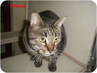 Domestic Shorthair Cat for adoption in Slidell, Louisiana - Saucy