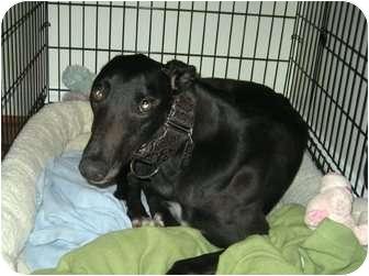 Greyhound Dog for adoption in Spencerville, Maryland - Holler