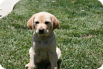 Australian Shepherd/Labrador Retriever Mix Puppy for adoption in Burbank, California - Candy Great with kids