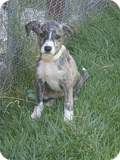 Collie/Shepherd (Unknown Type) Mix Puppy for adoption in Tustin, California - Rascal