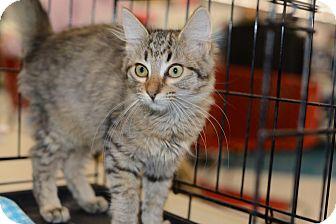 Maine Coon Kitten for adoption in Harrisburg, North Carolina - Margarite