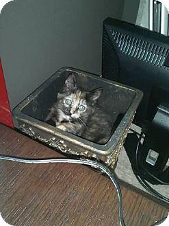 Domestic Shorthair Kitten for adoption in Warren, Michigan - Boo Boo