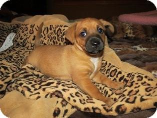 Beagle/Boxer Mix Puppy for adoption in Tustin, California - Jack