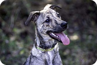 Whippet/Boxer Mix Puppy for adoption in Victoria, British Columbia - Topaz