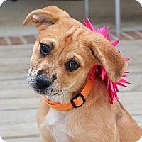 Adopt A Pet :: *Destiny - PENDING - Westport, CT