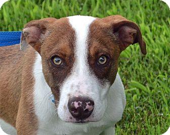 Terrier (Unknown Type, Medium)/Hound (Unknown Type) Mix Dog for adoption in Searcy, Arkansas - Matt