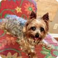 Adopt A Pet :: Chloe Yorkie - Shawnee Mission, KS