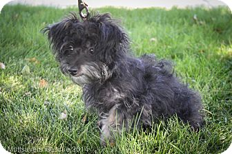 Yorkie, Yorkshire Terrier/Poodle (Miniature) Mix Puppy for adoption in Broomfield, Colorado - Zelda