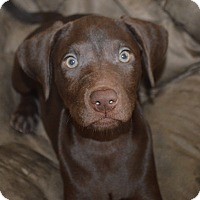 Adopt A Pet :: Brooke-adoption in progress - Marshfield, MA