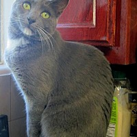 Domestic Shorthair Cat for adoption in Long Beach, California - Cameron