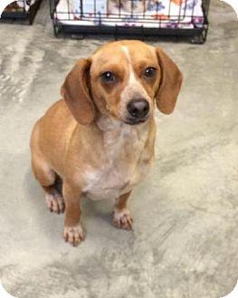 Beagle Mix Dog for adoption in Brattleboro, Vermont - Bea