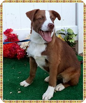 Border Collie Mix Puppy for adoption in Marietta, Georgia - WOODY see also BARBIE