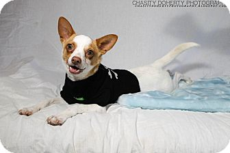 Chihuahua/Terrier (Unknown Type, Small) Mix Dog for adoption in Vancouver, British Columbia - ROSCOE