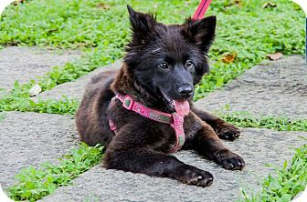 Border Collie Mix Puppy for adoption in San Francisco, California - Sanna