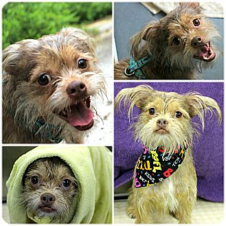 Brussels Griffon Mix Dog for adoption in Forked River, New Jersey - Max